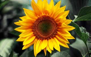 304835-sunflower
