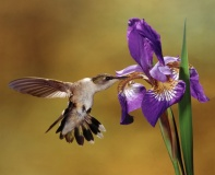 1104111501301hummingbird_and_iris