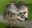 2010_07_23-09_17_10-5284-hummingbird-nest