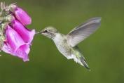 900-453942049-annas-hummingbird