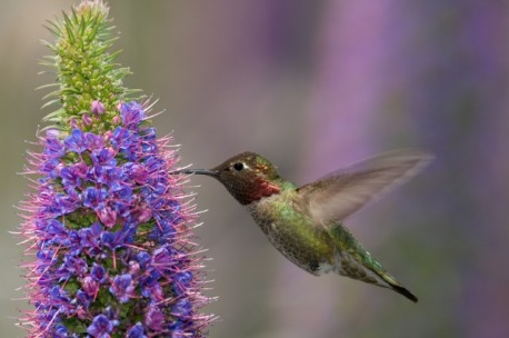 annas-hummingbird-feeding-on-pride-of-madeira-flower