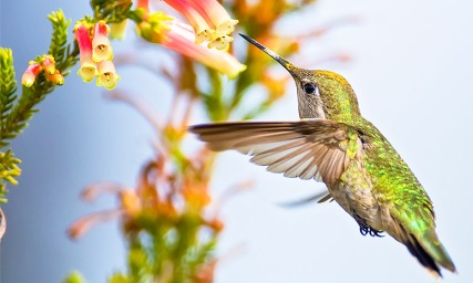 annas-hummingbird-full