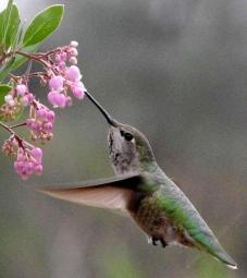 arctostaphylos-baby-bear-anna-hummingbird1