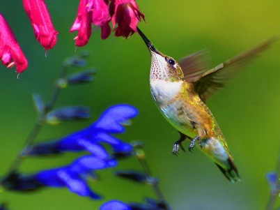 beautiful-hummingbird-hd-wallpapers