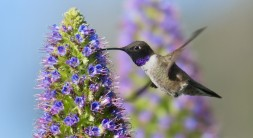 black-chinned-hummingbird-pride-of-madeira-flower-820x448