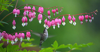bleeding-heart2