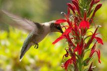 hum-cardinal-flower-58a6d0b15f9b58a3c9051f20