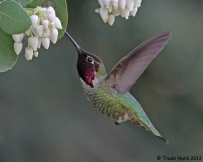hummingbird-and-manzanita-img_5846-r