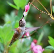 hummingbird-bleeding-heart-flower-2008_49638