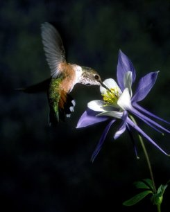 hummingbird-columbine-110-2