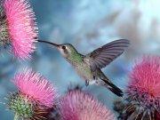 hummingbird-flowers-pink-favim-com-504115