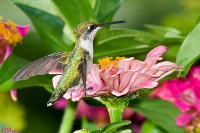 hummingbird-in-garden-400x266