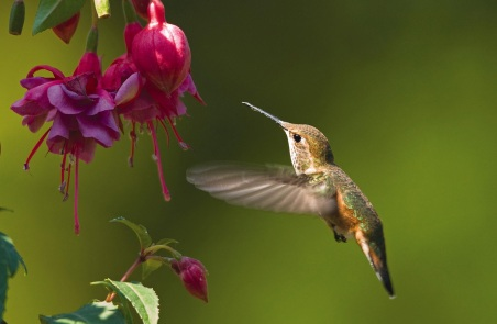 hummingbird-rufous-fuchia-plant-flower-wild-birds-unlimited