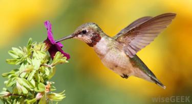 hummingbird-with-purple-flower