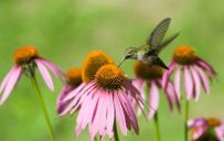 hummingbird_and_pink_flowers_600