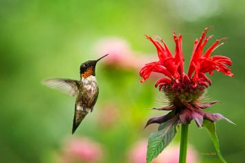 male-ruby-throated-hummingbird-hovering-near-flowers-christina-rollo