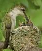 ruby-throated-hummingbird-nest-wallpaper-1.jpg