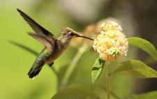 ruby-throated-hummingbird-on-yellow-flowers-ron-walker