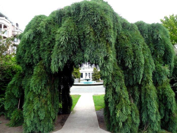Image result for sequoiadendron giganteum pendulum