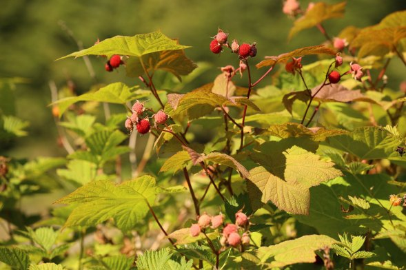 Image result for rubus parviflorus