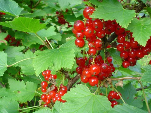 Image result for ribes rubrum